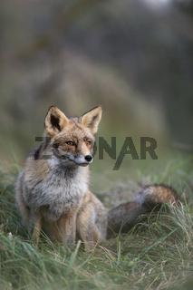 konzentrierter Blick... Rotfuchs *Vulpes vulpes*