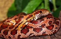 Kornnatter (Pantherophis guttata)