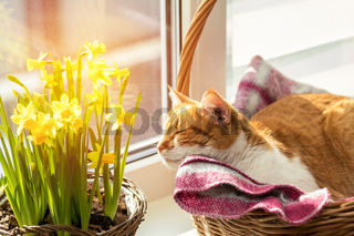 Morning sunlight on the sleeping red cat.
