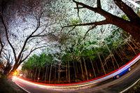 jinhae cherry tree road