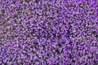 Background of purple rockcress flowers in spring