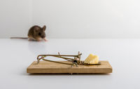 Mouse trap with cheese bait, and a small wood mouse, Apodemus sylvaticus, out of focus in the background,