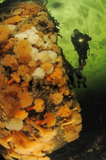 Eistauchen und Seenelken, icediving and orange seaanemone