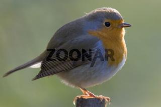 Rotkelchen, Erithacus rubecula, European robin
