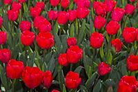 Rote Holländische Tulpen