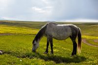 Mare grazes in the meadow