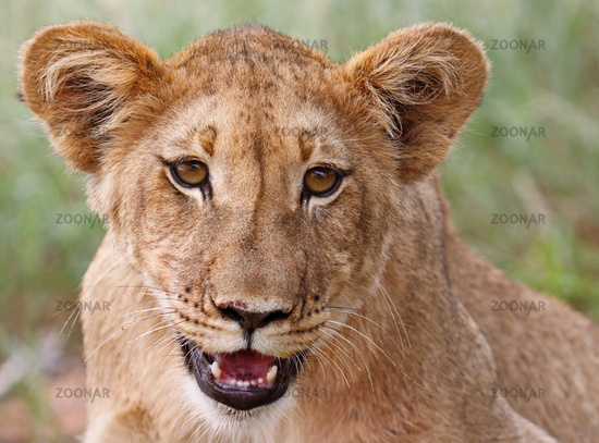 young lion in south africa