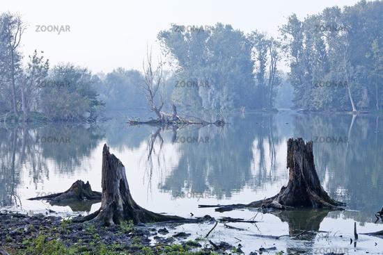 tree stumps in wetlands Bislicher Insel, Xanten, North Rhine-Westphalia, Germany, Europe