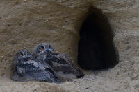 at dusk in front of their burrow... Eurasian Eagle Owls *Bubo bubo*