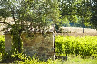 Ländliche Szene mit Reben und Olivenbaum neben einer Steinhütte in der Toskana, Italien