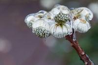 frozen oriental paperbush flower