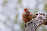francolin, south africa, wildlife