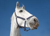The head of light grey horse