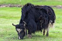 Black Domestic Yak (Bos grunniens), Gorkhi-Terelj National Park, Mongolia