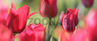 red tulips banner