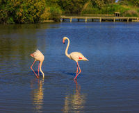 Pair of pink flamingos in delta of the Rhone
