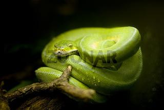 Gruene Baumschlange im Regenwald Costa Ricas