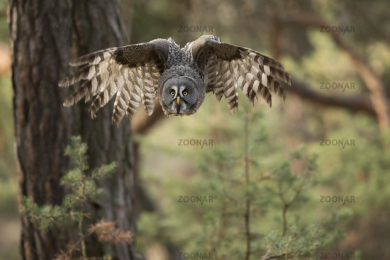 frontal shot... Great Grey Owl *Strix nebulosa*