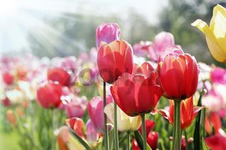 frühlingssonne auf tulpenbeet