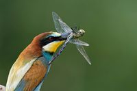bee-eater on a branch with a blue hawker