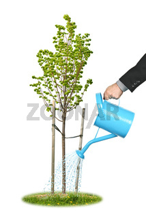 Businessman watering young tree