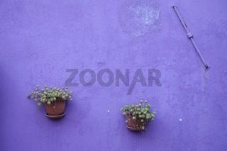 Lila Wand  mit 2 Blumentöpfen