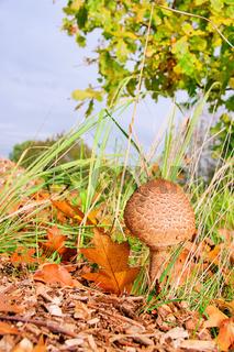 Riesenschirmpilz - Parasol mushroom 14