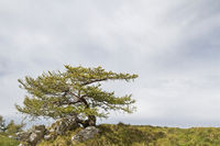 Lärche im Bondonegebirge