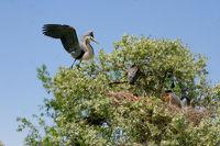 Fledgling Great Blue Heron Birds