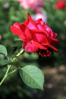Red rose on the flowerbed 2