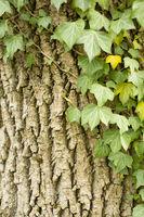 ivy at tree