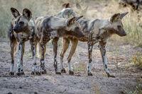 African wild dogs starring around.