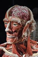 Präparat, Plastinat, eröffneter Kopf eines Mannes,   Menschen Mu