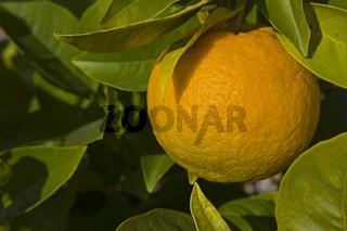 Orangenbaum / citrus fruit