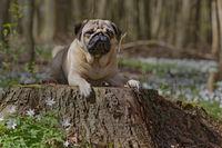 Pug dog lying on a tree trunk, Schleswig-Holstein, Germany, Europe