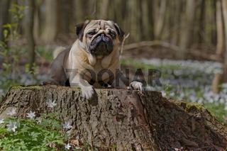 Mops liegt in einem Baumstamm, Schleswig Holstein, Deutschland