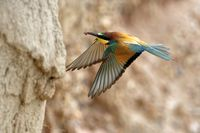 bee-eater flying to the breeding tube