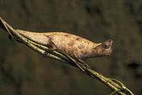 Brown leaf chameleon (Brookesia superciliaris), (Chameleonidae), Andasibe National Park, Madagascar