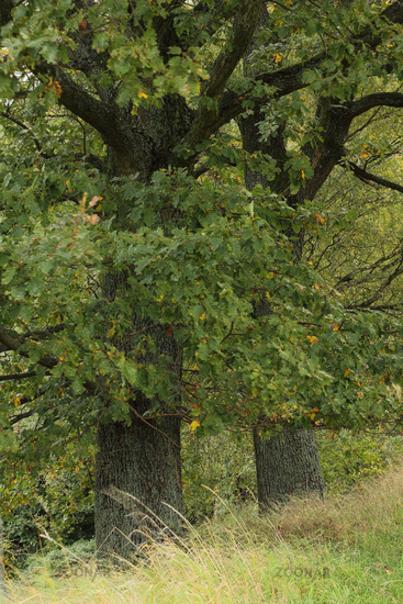 Oak tree (Quercus)