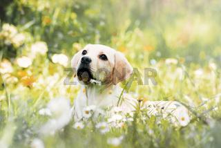 Labradorwelpe in einer Frühlingswiese