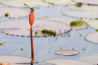 The close up of dragon fly staying on top of lotus bud