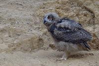 on the walk... Eurasian Eagle Owl *Bubo bubo*
