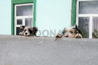 two domestic dogs observe near the house.