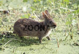 Marsh Rabbit  in Florida wetlands