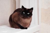 purebred siamese or thai cat
