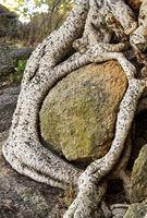 Wurzeln eines Sykomore Baums umschlingen einen Felsblock
