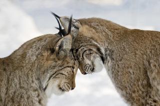 Luchspaerchen, schmusen, Europaeische Luchse (Lynx lynx), Lynxes couple cuddling