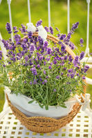 beauty and fresh lavender in the flower pot