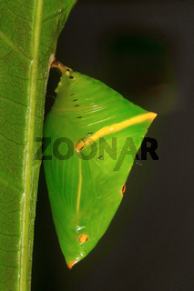 Butterfly pupa, Aarey Milk Colony