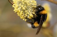 bumblebee at a catkin